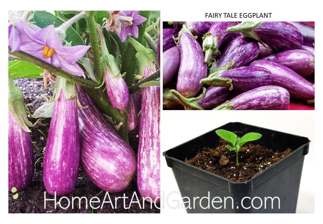 Fairytale Eggplant Plant