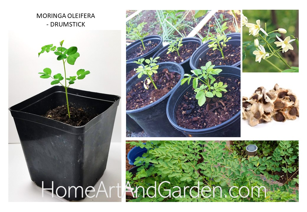 Moringa-Drumstick-Seeds-and-Seedlings-from-HomeArtAndGarden.com