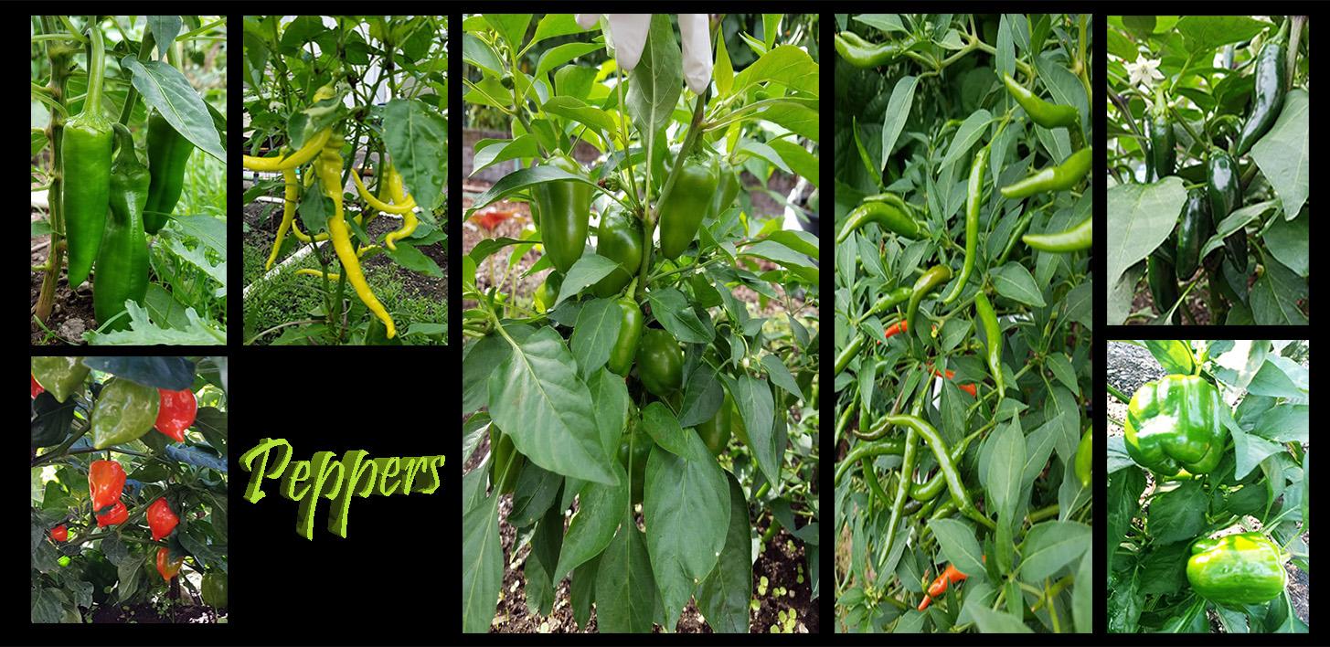 My Garden Pics