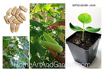 "Bottle Gourd Plant - Lauki or Dudhi - Lagenaria Siceraria - 4"" Pot."