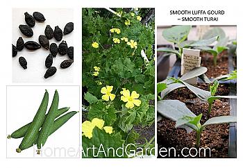 """Smooth Luffa Gourd Plant - Turai. 4"""" Pot."""