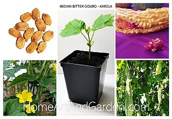 Indian Karela Plant - Bitter Gourd