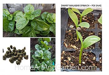 "Malabar Spinach (Dwarf) Plants - Poi Saag (two 4"" pots)"