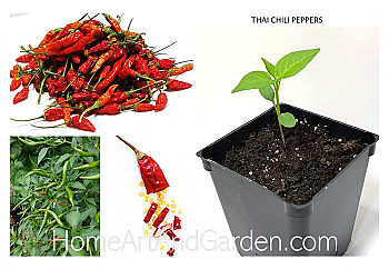 Thai hybrid chili Plants