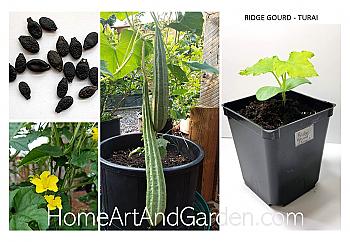 Ridge Gourd Seeds - Turai