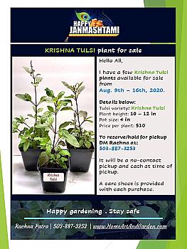 "Tulsi Plant (Krishna, Rama, Vana, and Amrita). 4"" Pot."