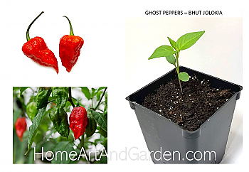 Ghost Peppers - Bhut Jolokia Plants