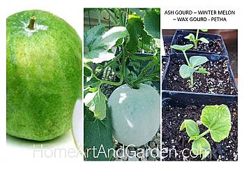 Ash Gourd - Petha - Winter Melon Plant