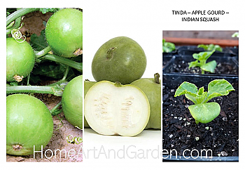 Tinda – Apple Gourd – Indian Squash
