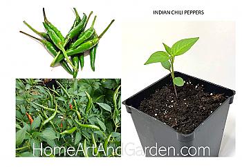 Indian Green Chili Plants