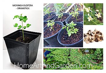 "Moringa Oliefera Tree Plant - 6"" Pot."